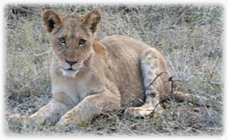 Latinskt Lejon